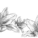 Lilie_watercolor