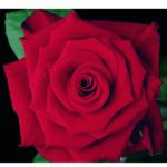 Rote Rose, von oben