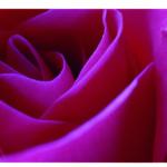 Rosa Rose, Detail