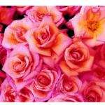Rosa Rosenblueten, flaechig