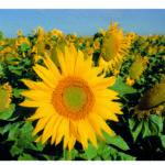 Sonnenblume, Sonnenblumenfeld, Himmel