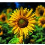 Sonnenblume, Sonnenblumenfeld