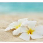 Tempelblume am Strand