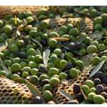 Olive verdi nella rete