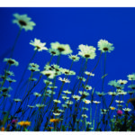 Margeriten, blauer Himmel
