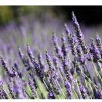 Lavande : plante mellifère