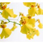 Gelbe Orchideenblueten, Oncidium