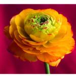 Gelbe Doldenbluete vor rotem Hintergrund