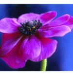 Violette Bluete vor blauem Hintergrund