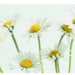 Gaensebluemchen, weiss-gelb