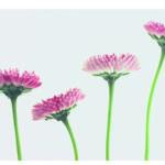 Vier rosa Bluetenkoepfe, Stengel