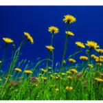 Blumen, gelbe, in Wiese, blauer Himmel
