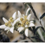 Edelweiss Leontopodium Vars Hautes Alpes France